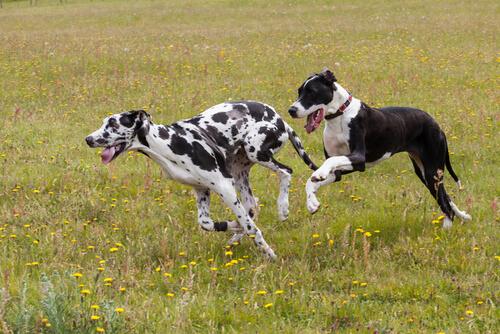 perros gran danes