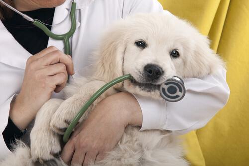Cachorro no colo do veterinário
