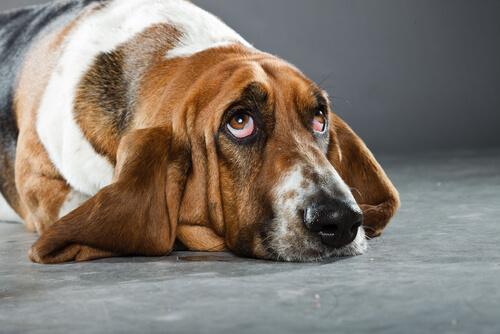 basset hound 2