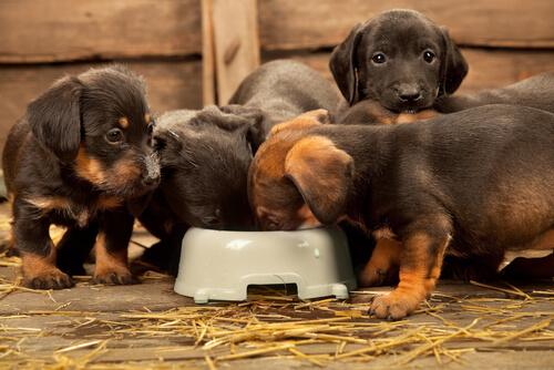 cachorros comiendo