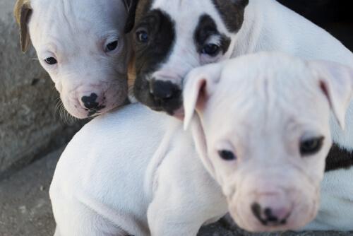 Mamá pitbull busca ayuda para conseguir rescatar a sus cachorros