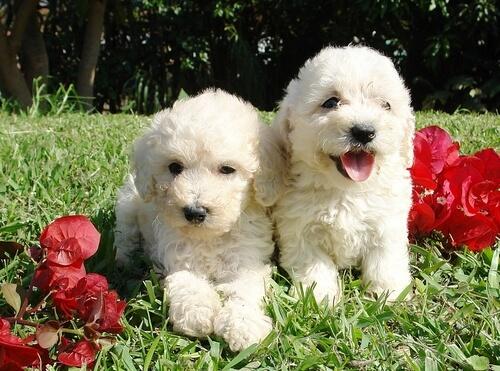 Perros peludos