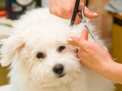 Cómo cortarle el pelo a un perro