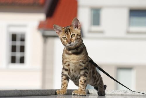 Cómo entrenar a un gato para pasear con correa