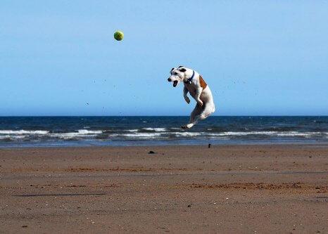 El Jack Russell Terrier es uno de los perros más inteligentes.