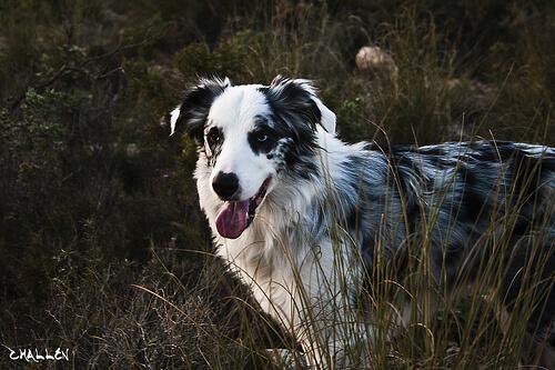 Señales del envejecimiento en los perros