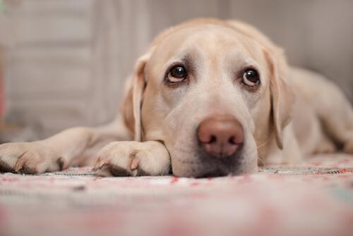 Señales de enfermedades cardíacas en los perros