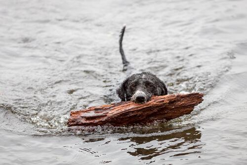 perro agua español 3