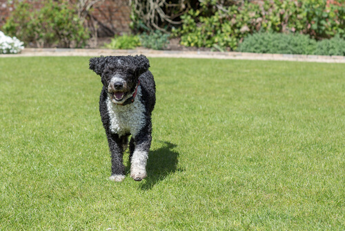 perro agua español