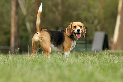 Perros y sus rabos