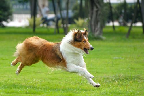 perro collie corriendo