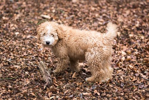 perro de agua español 2