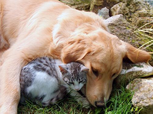 10 razas de perros que suelen llevarse bien con los gatos