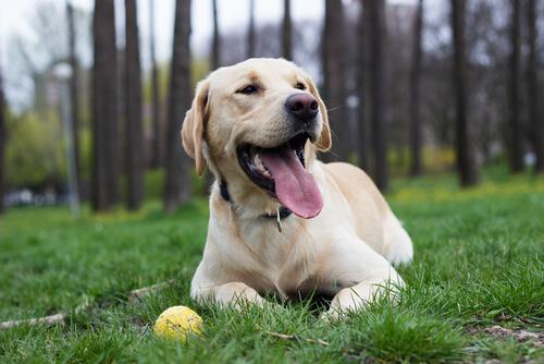 Labrador deitado na grama