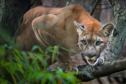 Puma en la selva