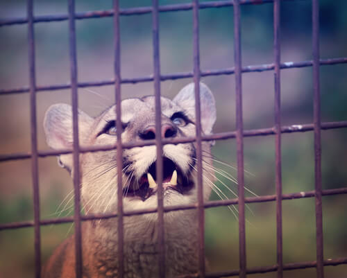Liberan a un puma de circo que vivió 10 años encadenado a una camioneta