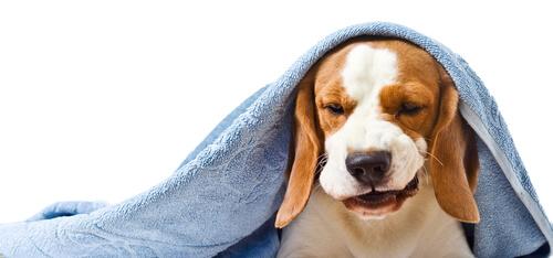 Tos en los perros: remedios caseros