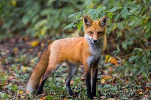 ¿Es posible tener como mascota a un zorro y, además, adiestrarlo?