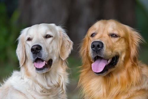 Motivos para adoptar un perro adulto