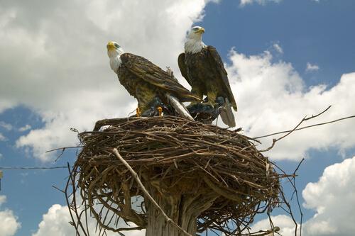 Un águila no abandona su nido durante tormenta para cuidar de los huevos