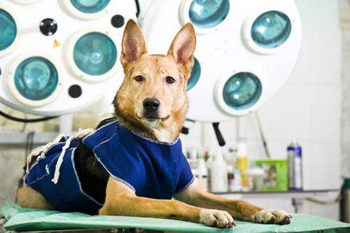 Cuidados de la perra después de la cirugía de esterilización