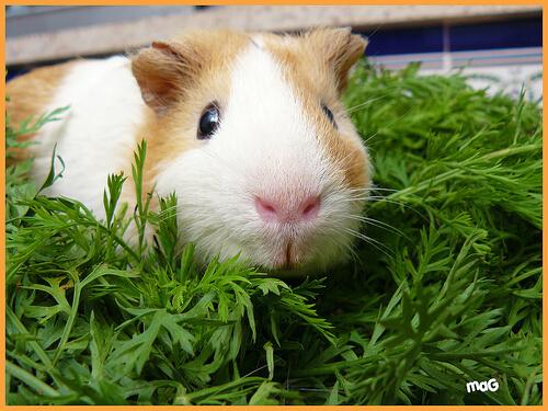 La cobaya: un roedor excelente
