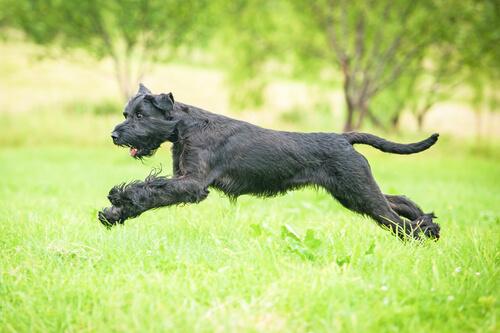 Consejos para los dueños de perros de raza gigante
