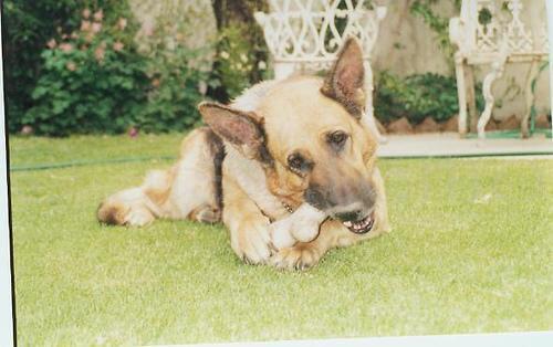 A German Shepherd enjoying a large bone.
