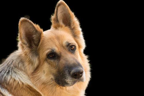 Diabetes en perros: tratamiento adecuado