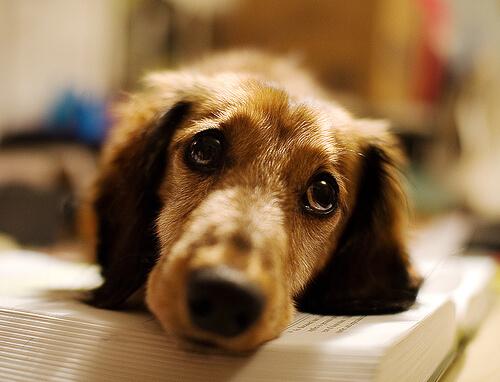 Cura de heridas en perros