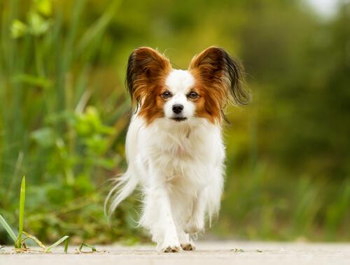 Tratamiento adecuado para perros mayores de raza pequeña