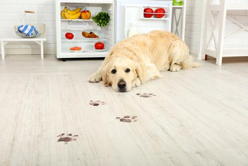 perro labrador comida