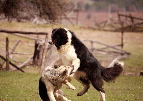 Cachorros brigando
