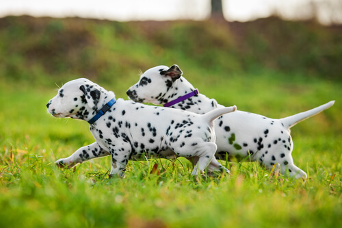 perros dalmatas