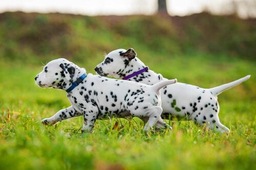 Two Dalmatian puppies running.
