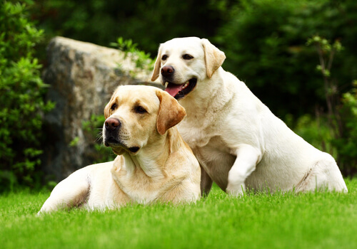 perros labradores