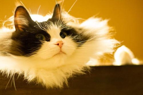 El Ragamuffin, un gato cariñosísimo y enorme