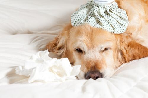 Cómo prevenir y tratar resfriados en los perros