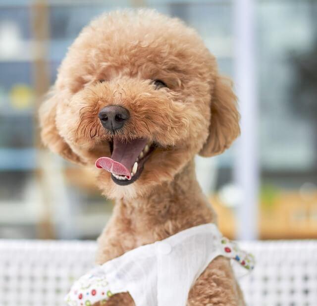 Poodle bebé sonriendo ampliamente