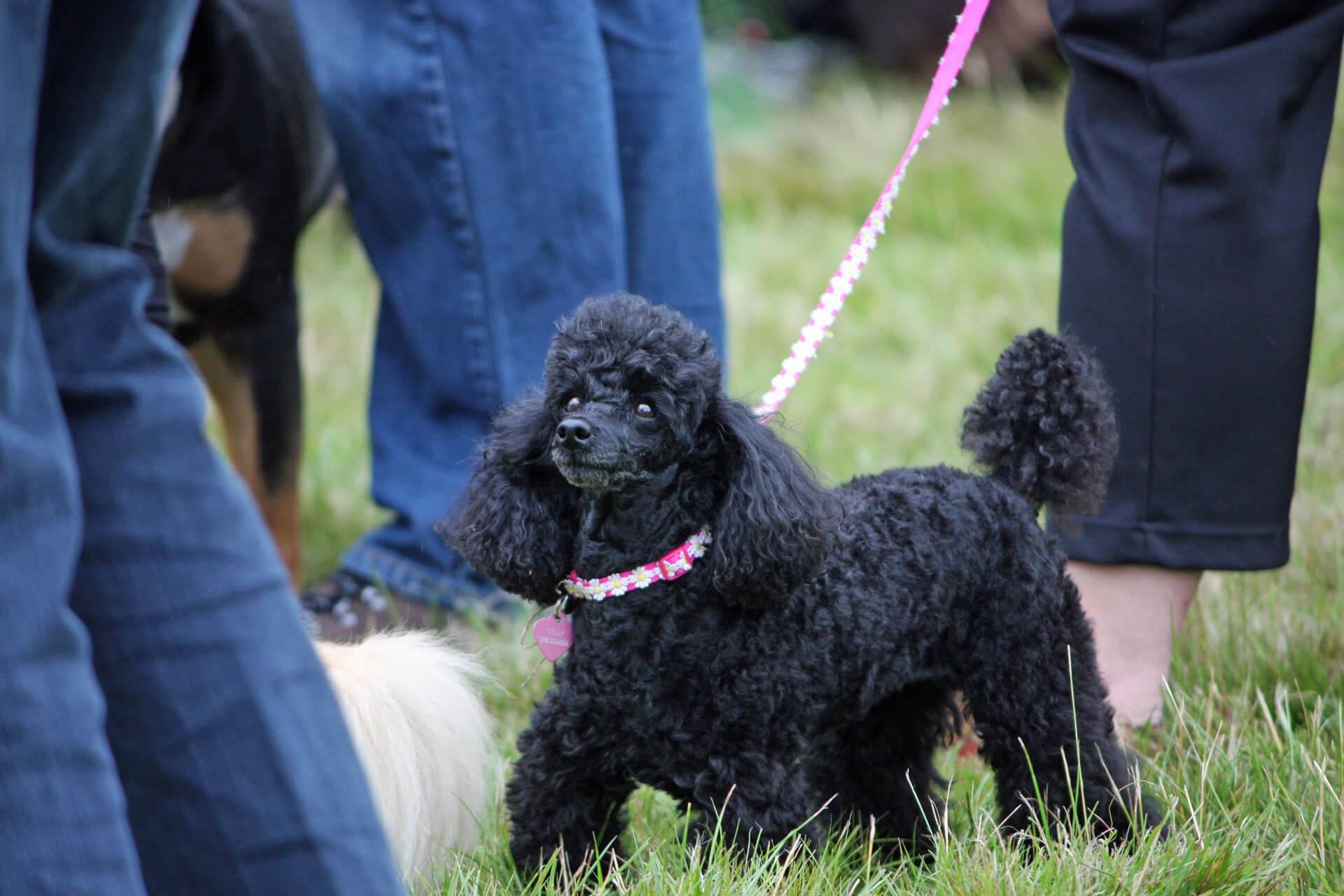 Poodle negro con correa