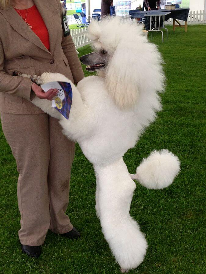 Poodle blanco de pie junto a su dueña