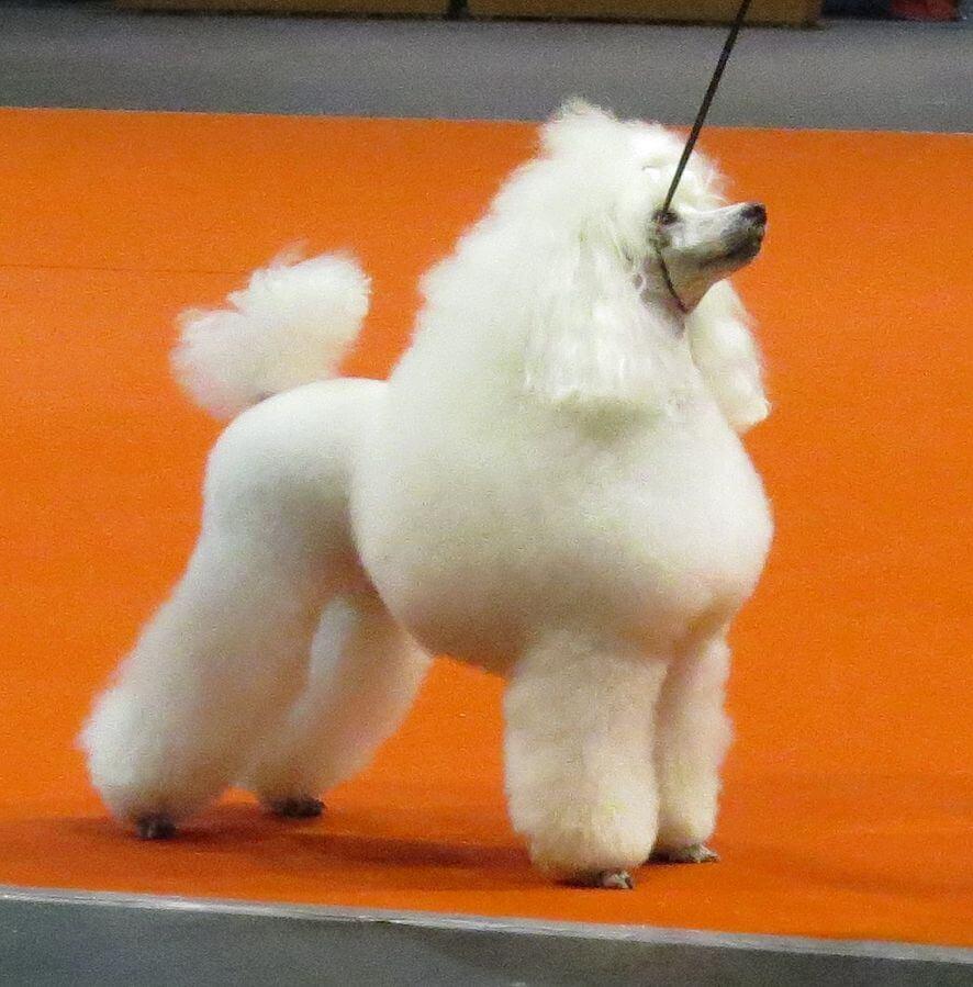 Caniche O Poodle Un Companero Carinoso Mis Animales