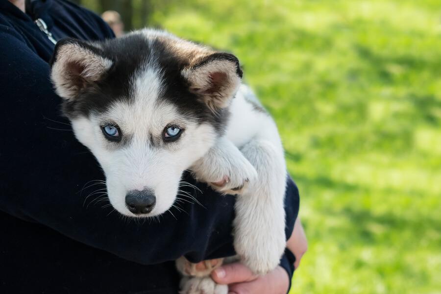 Cachorro de husky siberiano.