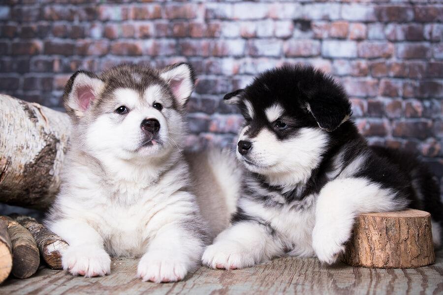 Cachorros de malamute de Alaska.