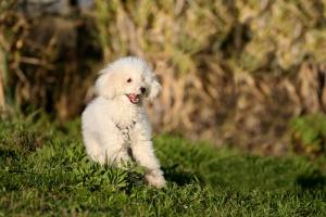 Perro poodle en el campo