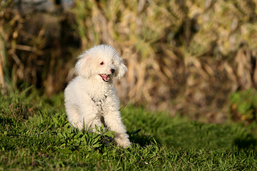 White dog running in the grass: how to treat dogs with epilepsy.