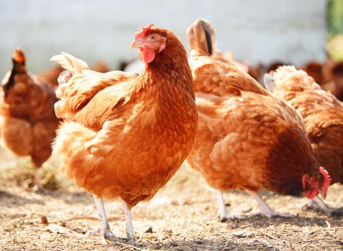 Gallinas en el gallinero