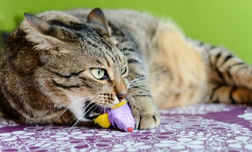 La enfermedad de pica en los gatos