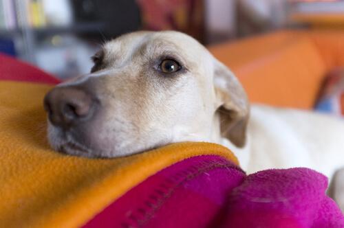 Conoce las enfermedades oculares más frecuentes en los perros