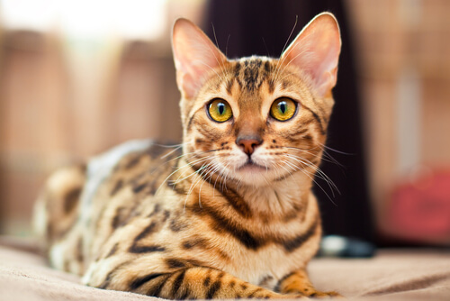 Bengals are a hybrid breed.